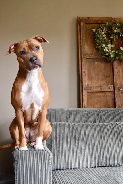 Bruine hond op armleuning ribcord bank oude houten deur met krans